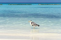 Grey Heron (Ardea cinerea) on the beach of a Maldivian island, Kurendhoo Island, Lhaviyani Atoll, Maldives
