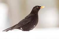 Blackbird in the Snow (Turdus merula).