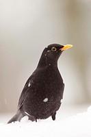Blackbird in the Snow (Turdus merula).