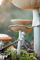 Fly agaric mushrooms at the National Park Sallandse Heuvelrug, Netherlands.