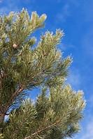 Pine needles on a tree