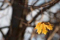 A Single Autumn Leaf Dangling From A Bare Tree Twig