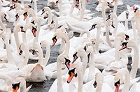 Collection of white Swans in water