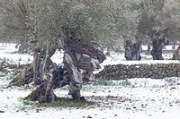 Centennial olive trees and stone cultivation terrace in Wintertime. Valldemossa area. Majorca, Balearic islands, Spain