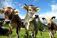 Swiss Cows, Switzerland.