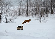 Red Fox (Vulpes vulpes). Encounter: Fox trying to avoid wolverine (Gulo gulo) . Kronotsky Zapovednik, Kamchatka, Russia