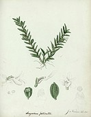 Angriecum pectinatum. Manuscript document: Sketches of plants made at the Mauritius to accompany the report of May 1829