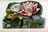 Nymphaeaceae: the water lily tribe. Source: Illustrations of the natural orders of plants with groups and descriptions by Twining, Elizabeth, 1805-188...