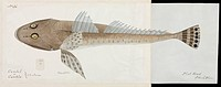 One of 67 original water colour drawings of Mammals, Reptiles and Fish found at King George's Sound,Western Australia, and in its neighbourhood ; acco...