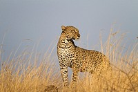 Leopard (Panthera pardus) in savannah, Samburu National Reserve, Kenya.
