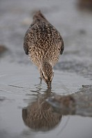 Short-billed Dowitcher; Limnodromus griseus; feeding on horseshoe crab eggs; NJ, Delaware Bay