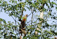 Gray-breasted Parakeet (Pyrrhura griseipectus), endangered species of Serra do Baturit? Rainforest, Cearß State, Northeastern Brazil.