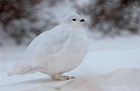 White tailed ptarmigan in snow on Guanella Pass, Colorado 12/29/2004 Lagopus leucurus