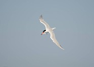 Caspian Tern, Hydroprogne caspia, with fish, Cape Disappointment State Park, Western Washington
