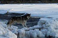Gray wolf (Canis lupus) along a winter stream. Pine County, Minnestoa. Captive