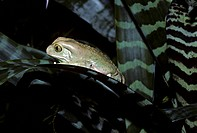 Waxy Monkey Leaf Treefrog, Phyllomedusa sauvagii, South America