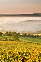 Vineyards near to Vezelay in Burgundy during a misty dawn.