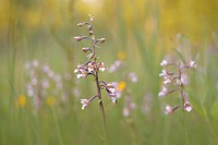 Marsh Helleborine (Epipactis palustris) in a marsh area, Saxony-Anhalt, Germany