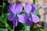 Garden Violet, Viola odorata