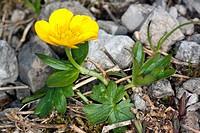 Ranunculus montanus, Mountain Buttercup