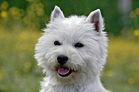 Westhighland White Terrier male, portrait