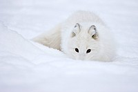 Artic fox (C) in snow in Norwegian nature park