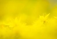 Bloeiende muurpeper, Biting Stonecrop flowering,