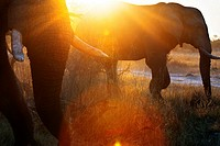 A magical sunset with elephants 4x4 inches from where we vahiculo the game safari camp near Khwai River Lodge by Orient Express in Botswana, within th...