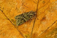 Brindled Green (Dryobotodes eremita) adult, resting on leaf, Norfolk, England, October