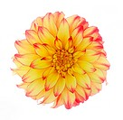 Close-up of large yellow and red dahlia, dahlia 'Lady Darlene', back lit on a white background.