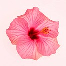 Large pink hibiscus flower on a white background gently tinged in pale pink, in square format.