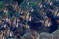 School of Banggai cardinalfish (Pterapogon kauderni) aligned in formation with soft coral background. Lembeh Strait, Indonesia.