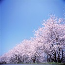 Cherry blossoms against blue sky