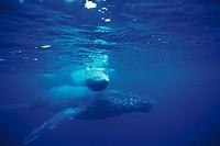 whale,sea,sea animal