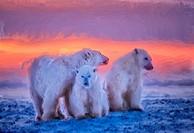 Polar bear family at sunset, oil painting effect, digital art