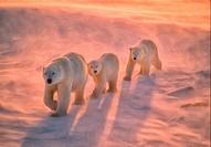 Polar bears on tundra in Arctic sunset.