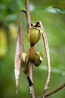 Pitcher plant. Image taken at Semengok Wildlife Centre. Sarawak, Malaysia.