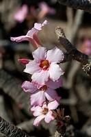 Desert Rose (Adenium obesum), Oman