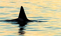 Fatfin CA171B Transient Orca milling around in the Monterey Bay at sunset, Moss Landing, California, USA