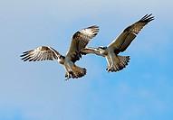 Osprey (Pandion haliaetus), Södermanland, Sweden.