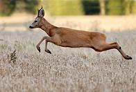 Roe deer buck jumping, Botkyrka, Stockholm, Sweden