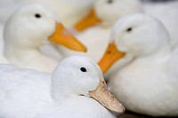 Resting ducks, Asahikawa, Hokkaido, Japan