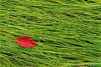 A vivid red leaf lying on the wet grass. Autumn.