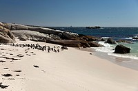 Jackass Penguins or African Penguins (Spheniscus demersus) on the beach, Boulders Beach near Simon's Town, Cape Town, Western Cape, South Africa