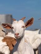 Nanny goat portrait