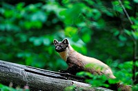Pine marten, sweet marten, Martes martes, marten, golden robin, predator, predators, canids, May, summer fur, animal, animals, Germany, Europe,