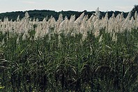 Sugar cane crop (Saccharum officinarum) around Bago (Pegu), Myanmar (Burma).
