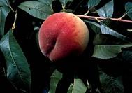 Peach (Prunus persica), Rosaceae.
