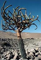 Cactus, Cactaceae, Precordillera, Chile.