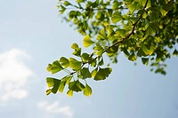 Gingko, Maidenhair tree, Gingko biloba, leaves viewed against a blue sky.